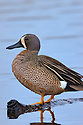 00315-058.17 Blue-winged Teal Duck (DIGITAL) drake is on a log over shallow water marsh.  Hunt, waterfowl, wetland.  V6L1