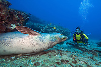 Diver (MR) with a Hawaiian monk seal, Neomonachus schauinslandi, (endemic and endangered) , Niihau Island, Hawaii.