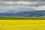 A vibrant yellow Canola crop near Campbell Town on the Heritage Highway in Tasmania, Australia.