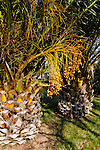 PHOENIX CANARIENSIS, CANARY ISLAND PALM