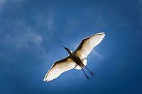 Sunlight shines through the delicate white feathers of a Snowy egret's wide-spread wings.