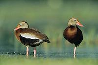 Black-bellied Whistling-Duck, Dendrocygna autumnalis, pair, Welder Wildlife Refuge, Sinton, Texas, USA, June 2005