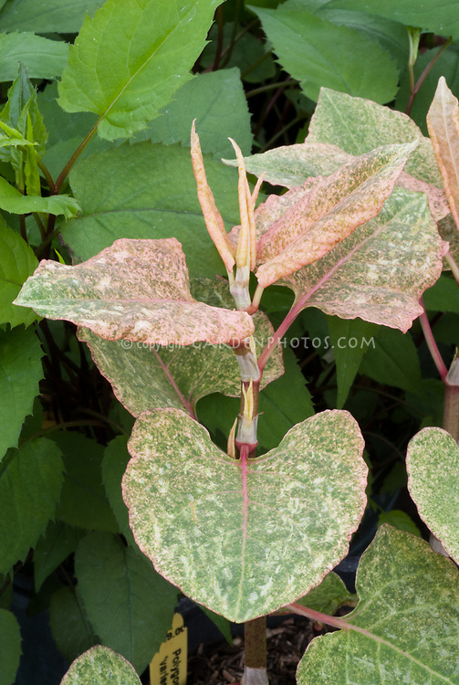 Fallopia japonica 'Milk Boy' variegated version, new young shoots and tips