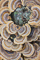Turkey tail fungus (Trametes versicolor), on stump, North Carolina, USA