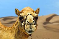 Camel.  Camelus Dromadarius.  Dubai. United Arab Emirates.