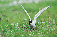 Arctic Tern (Sterna paradisaea), adult on nest feeding young, Nesseby, Norway, Europe