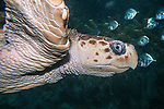 loggerhead sea turtle swimming right, medium shot