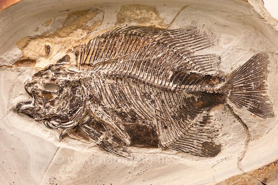 Versteinerter Fisch, Fossil, Fossilien, Versteinerung, Versteinerungen, fossils, Moler von den Inseln Fur und Mors, Diatomit oder Kieselgur, Übergang vom Oberen Paläozän zum Unteren Eozän vor etwa 55 Millionen Jahren entstandenes Sedimentgestein, Limfjord, Dänemark