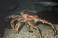Königskrabbe, Kamtschatkakrabbe, Königs-Krabbe, Kamtschatka-Krabbe, Kamtschatka - Krabbe, Kronenkrebs, Kamschatkakrebs, Alaska-Königskrabbe, Paralithodes camtschaticus, king crab, red king crab, Alaskan king crab, Alaskan king stone crab, Japanese crab, Kamchatka crab, Russian crab, gemeinsam mit Köhler, Seelachs