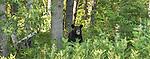 American black bear
