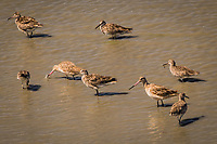A mix of Willets and Marbled Godwits feed along the shore at the Martin Luther King Jr. Regional Shoreline in Oakland, California on the first day of summer, 2021