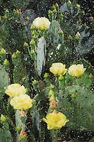 Texas Prickly Pear Cactus (Opuntia lindheimeri), blooming in rain, Rio Grande Valley, Texas, USA
