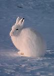 Arctic hare, Ellesmere Island, Nunavut, Canada