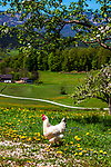 Deutschland, Bayern, Berchtesgadener Land, bei Bischofswiesen: glueckliches Huhn in Freilandhaltung | Germany, Bavaria, Berchtesgadener Land, near Bischofswiesen: happy chicken from free-range breeding