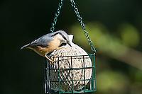 Kleiber, an der Vogelfütterung, Spechtmeise, Sitta europaea, Nuthatch, Sittelle torchepot. Ganzjahresfütterung, Vögel füttern im ganzen Jahr, Vogelfutter der Firma GEVO, Riesen-Meisenknödel, Riesenknödel im Riesenmeisenknödelhalter