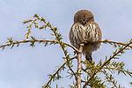 USA, Washington, northern pygmy owl