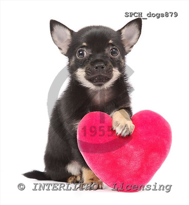 Xavier, ANIMALS, dogs, photos+++++,SPCHDOGS879,#a# Hunde, perros
