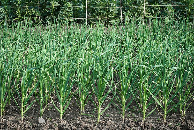 Young garlic in front of rows of shallots and broad beans, late May.