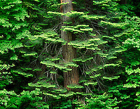 Hemlock tree branches around tree trunk with spring growth. Banks of Umpqua River, Oregon.