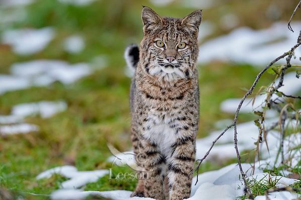 Wild Bobcat (Lynx rufus).  Olympic National Park, WA.  November.  (Completely wild, non-captive cat.)