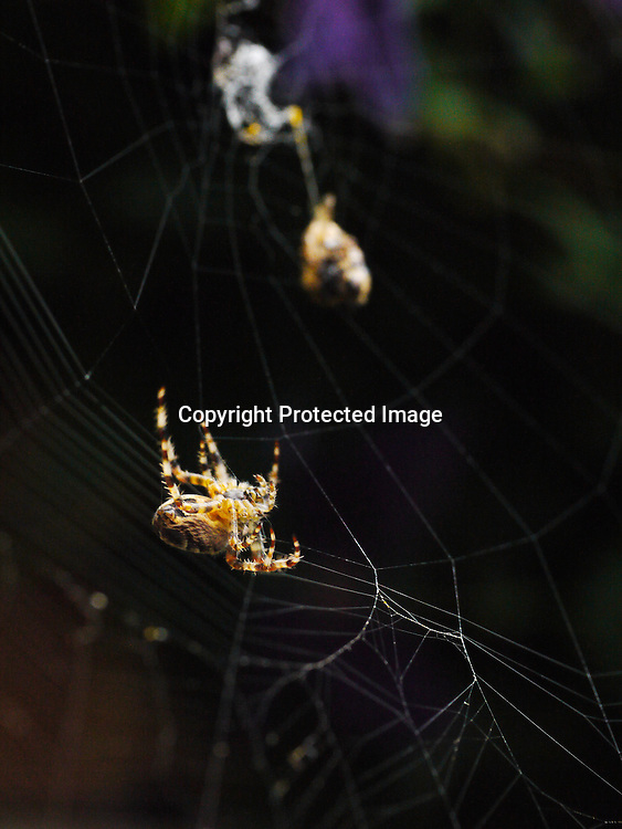Autumn Garden Spider - guarding the larder on its web.<br /> <br /> Stock Photo by Paddy Bergin
