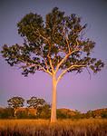 Post sunset light bathes this ghost gum tree in a warm illumination, Australia.