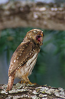 Ferruginous Pygmy-Owl, Glaucidium brasilianum , adult yawning, Willacy County, Rio Grande Valley, Texas, USA, June 2004