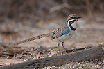 Adult long-tailed ground roller (Uratelornis chimaera). Ifaty Spiny Forest, Madagascar.