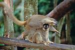 Brown lemurs, Madagscar