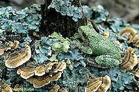 FR15-043z  Gray Tree Frog - on lichen covered tree stump, camouflaged - Hyla versicolor