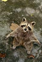 Waschbär, im Zoo, Tiergehege, Wasch-Bär, Procyon lotor, common raccoon