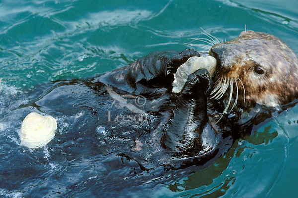Mo59  Sea otter using tool--rock--to open clam.