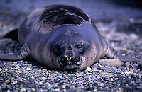 Young Southern Elephant Seal, Mirounga leonina. South Georgia Island, Antarctica.