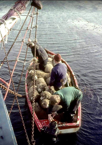 With many islands lacking proper quays, the Ilen's punt was an essential part of the sheep delivery route