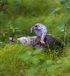 Jake wild turkey resting in a northern Wisconsin woodland.