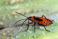 HE05-006d   Large Milkweed Bug Nymph on milkweed seed pod, Oncopeltus fasciatus