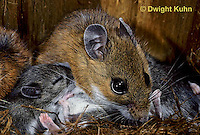 MU28-102c  White-Footed Mouse - nursing 13 day old young -  Peromyscus leucopus