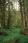 Forest of Douglas Fir trees with three leaf clover ground cover Oregon, forest, woods, Douglas fir, fir trees, Oregon, Fine Art Photography by Ron Bennett, Fine Art, Fine Art photography, Art Photography, Copyright RonBennettPhotography.com ©