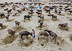 A team of cowboys herd hundreds of water buffalo across a river.  More than 300 of the animals can be seen forming long queues as they cross the water.<br /> <br /> These aerial shots were captured using a drone at various parts along the Jamuna River in northern Bangladesh.  SEE OUR COPY FOR DETAILS.<br /> <br /> Please byline: Abdul Momin/Solent News<br /> <br /> © Abdul Momin/Solent News & Photo Agency<br /> UK +44 (0) 2380 458800