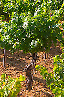 St Pargoire. Languedoc. Vine leaves. Old, gnarled and twisting vine. France. Europe. Vineyard.