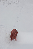Kinder bauen einen Fuchs, Rotfuchs aus Schnee, Schneefigur wird mit Erdpigmenten eingefärbt, läuft auf der Trittspur eines echten Fuchses
