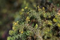 Federchen-Lebermoos, Behaartes Federchen-Lebermoos, Großes Federchen-Lebermoos, Sand-Federchen-Lebermoos, Lebermoos Ptilidium ciliare, Blepharozia ciliaris, Jungermannia ciliaris, ciliated fringewort, northern naugehyde liverwort, liverworts, Lebermoose