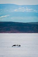 bowhead whale, Balaena mysticetus, fluke, Isabella Bay, Baffin Island, Nunavut, Canada, Arctic Ocean