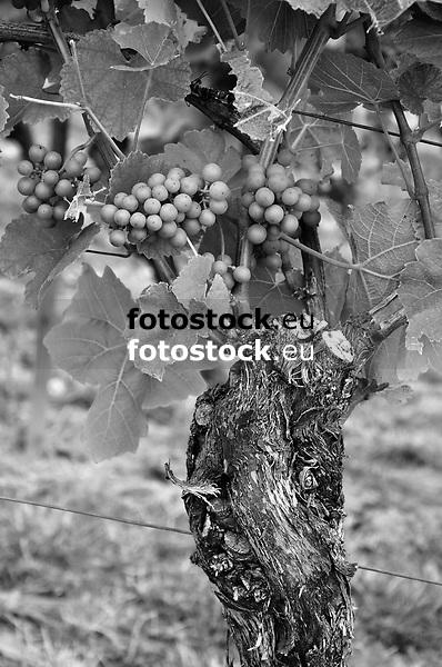 Weinrebe mit jungen noch unreifen Trauben