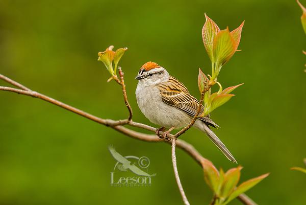 Chipping Sparrow (Spizella passerina). Great Lakes region. May.