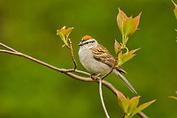 Chipping Sparrow (Spizella passerina). Great Lakes region. May.