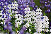 Purple and white lupine in subalpine meadow, Paradise, Mount Rainier National Park, Washington, USA