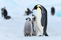 Snow Hill Island, Antarctica. Adult emperor penguin with two juveniles.