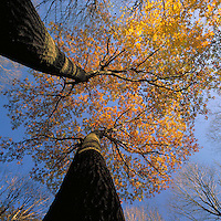 View looking upward at the autumn leaves on trees as they contrast against the blue sky.
