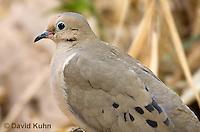 0611-1103  Mourning Dove in Arizona Desert (Sonoran Desert), Zenaida macroura  © David Kuhn/Dwight Kuhn Photography